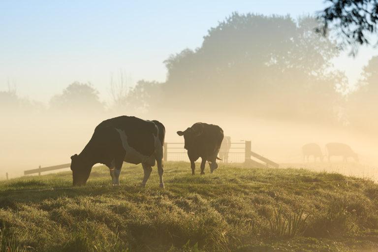 Gesunde Kühe ohne Chemie