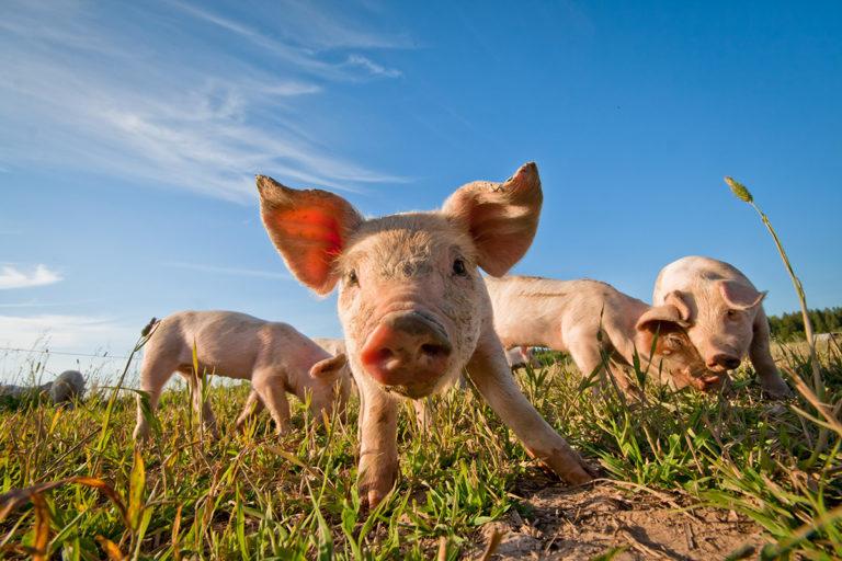 Gesunde Schweine ohne Chemie