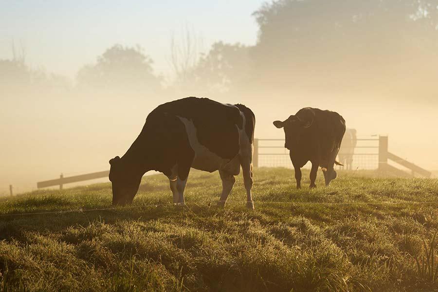 Vitale Kühe auf dem Feld